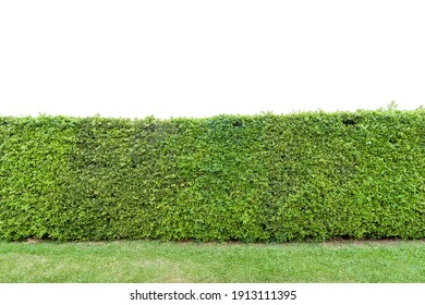 Green tree wall on white background