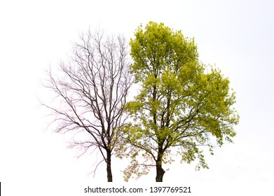 a green tree and a tree without leaves stand side by side against the white sky