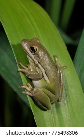 Green Treefrog (Hyla cinerea), Florida