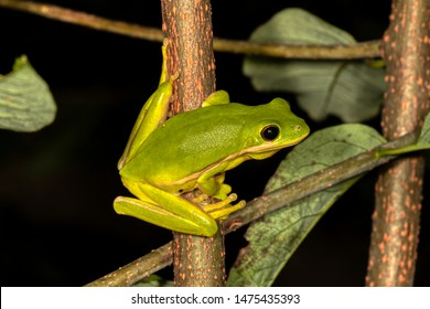 Green Treefrog (Hyla cinerea) at  National Forest, Winston County, Alabama, USA