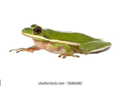Green TreeFrog Profile