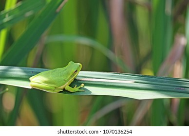 Green treefrog - Reelfoot Lake State Park, Tennessee