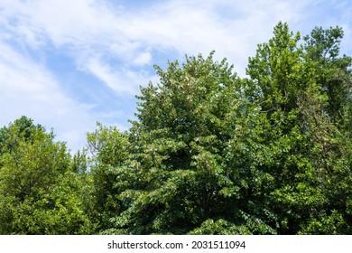 Arbres verts et ciel bleu avec de petits nuages blancs.