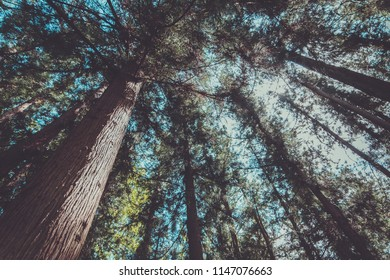 Green trees in a botanical garden or forest. Lower point shooting. Bottom view. The concept of the scale and grandeur of nature.