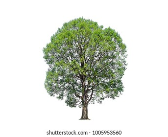 green trees isolated on white background.one of isolated tree on white background. tree white background.