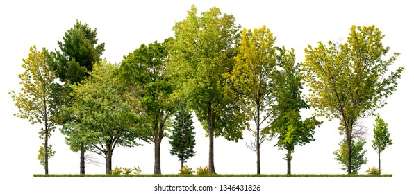 Green trees isolated on white background. Forest and foliage in summer