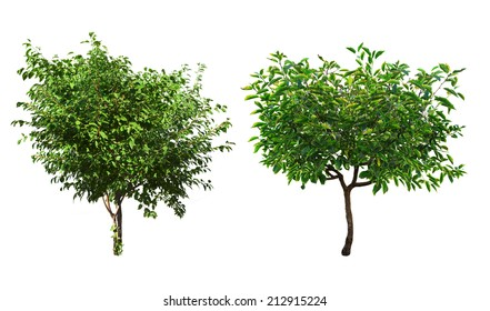 green trees isolated on a white background