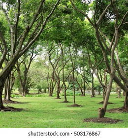 Green Trees in the nature park. Nature of the Tree.