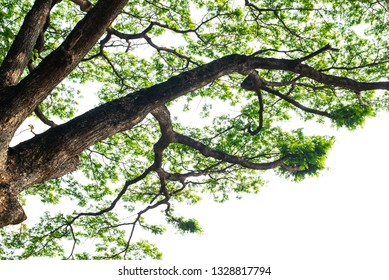 Green trees on isolate white background.