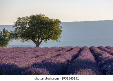 Green trees on purple lavender fields in the provence in France, Europe