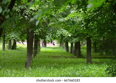 Green trees in summer park, perspective view.
