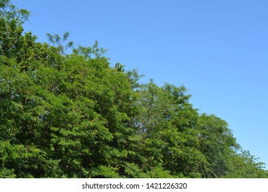 green trees top against the blue sky