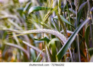 Green 'Triticale' wheat ears
