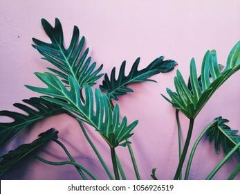 Green tropic plant at bright pink interior at background