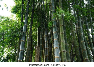 Green tropical bamboo groove forest
