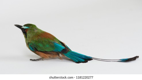 Green tropical bird with long tale isolated on white studio background