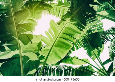 green tropical foliage texture background, banana leaves
