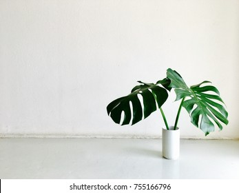 Green tropical houseplant leaves (Giant monstera) in white wall background. Home decoration for modern and minimalism interior design.