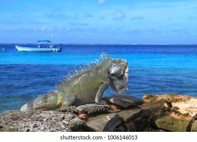Green tropical iguana sitting on the rocks close to the sea. Exotic rocky beach with lizard. Blue ocean and scuba diving boat in the background.