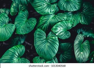 Green Tropical Leaf nature plant leaves for botany background