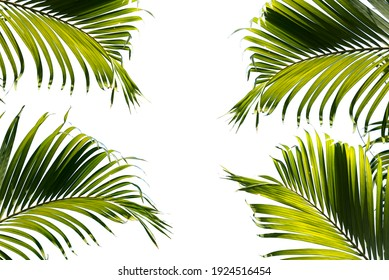 Green tropical palm leaf, Isolated on white background. Clipping path included. Copy space.