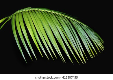 Green tropical palm tree frond against a black background.