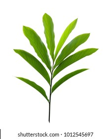 Green tropical plant red ginger leaves (Alpinia purpurata) isolated on white background, clipping path included
