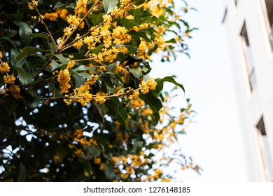 Green tropical tree with yellow flowers. Golden Flower Scented Osmanthus. A tree with a sweet scent. Sweet osmanthus, sweet olive, olive tea or fragrant olive evergreen shrub or small tree.