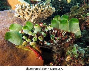 Green tunicates (Didemnum molle)