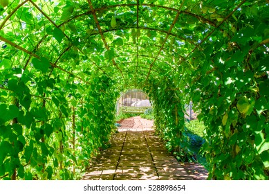 Green tunnel in fresh spring foliage. Way to nature. Natural background from beautiful garden, vintage style