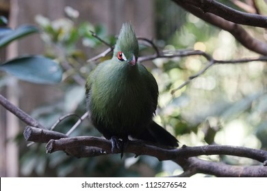 Green turaco bird is sitting on tree branch in zoo