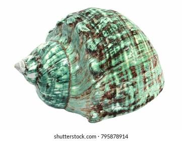 Green Turban sea shell, Blue sea shell on a white background