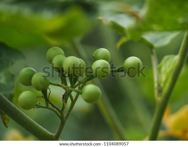 Green Turkey Berry (Pea Eggplant)