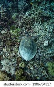 Green Turtle Chelonia mydas