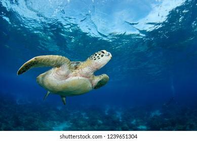Green turtle - Chelonia mydas - amazing underwater world of Apo Island, The Philippines.