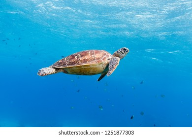 Green turtle (Chelonia mydas) Apo Island, Philippines
