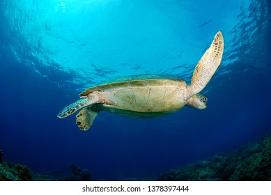 Green turtle - Chelonia mydas. Apo Island, the Philippines.