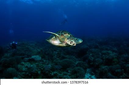 Green turtle - Chelonia mydas. Apo Island, the Philippines.
