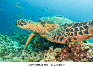 Green Turtle, (Chelonia Mydas) Balicasag Island, Bohol, Philippines