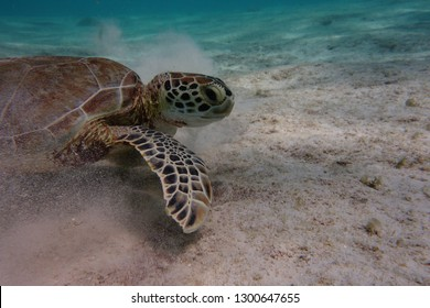 Green turtle (Chelonia mydas) digging the sund underwater, in order to find sea grass to eat.  Bonaire. Caribbean.