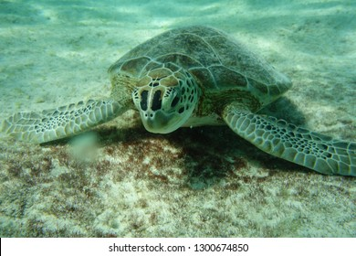 Green turtle (Chelonia mydas) digging the sand underwater in order to find sea grass to eat. Pink beach dive site.  Bonaire. Caribbean.