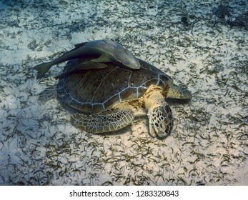Green turtle (Chelonia mydas) eating sea grass on shallow sea floor, with Remoras attached on its shell, Bahamas