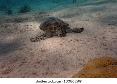 Green turtle (Chelonia mydas) eating underwater.  SAndy bottom.  Pink Beach dive site.  Bonaire.  Caribbean.
