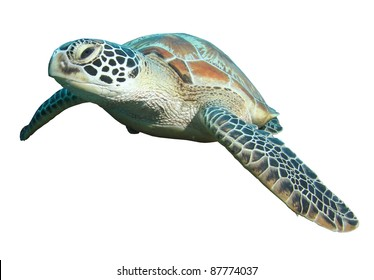 green turtle (Chelonia mydas) isolated on a white background
