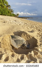 Green turtle (Chelonia mydas) laying her eggs and covering her nest on the beach in the daytime.