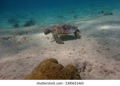 Green turtle (Chelonia mydas) looking for food underwater.  Pink Beach dive site. Bonaire.  Caribbean.