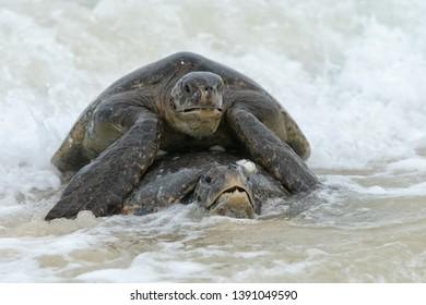 Green Turtle (Chelonia mydas) - Mating