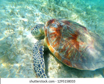 Green turtle (Chelonia mydas) of Mayotte eating grass