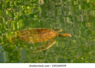 Green Turtle (Chelonia mydas) - Mellow Yellow