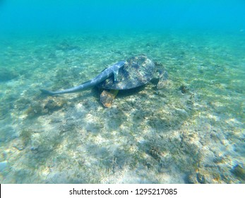 Green turtle (chelonia mydas) and its remora (Mayotte)